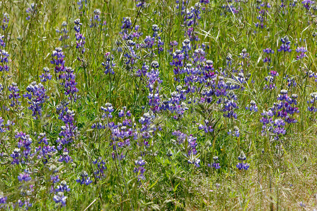 . Lupin wildflowers in bloom in the Fort Ord National Monument on the Creekside Terrace Trail on Wednesday, May 2, 2018.  (Vern Fisher - Monterey Herald)