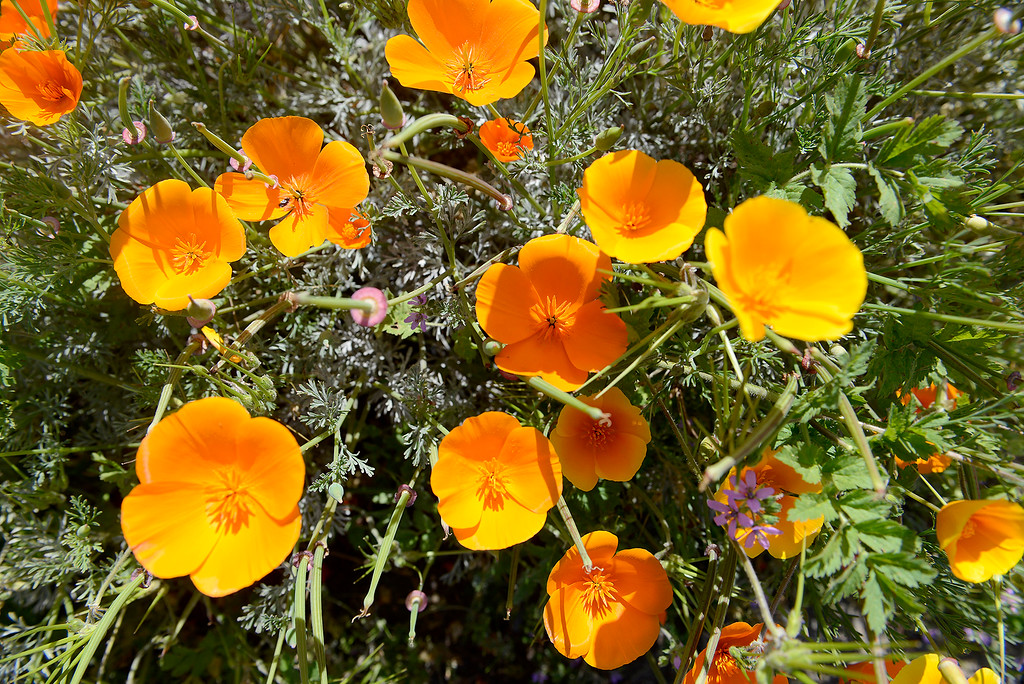 . California poppies wildflowers in bloom on Wednesday, May 2, 2018.  (Vern Fisher - Monterey Herald)
