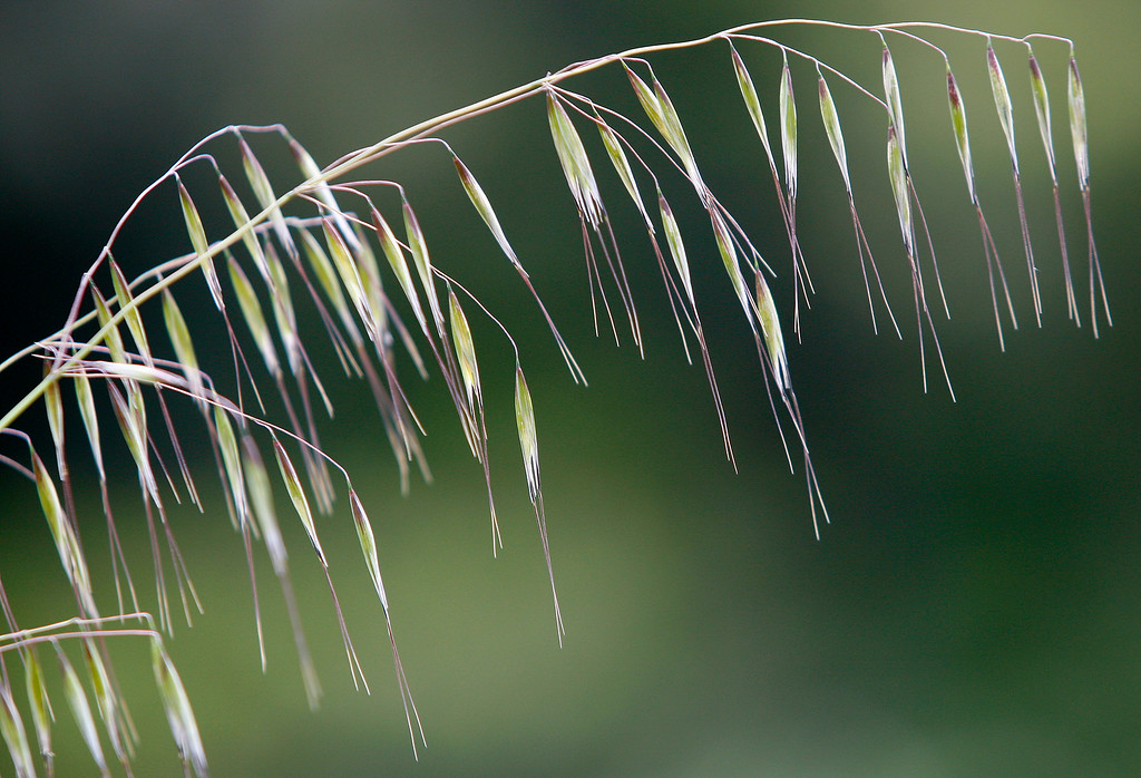 . Tall grass in the Fort Ord National Monument on the Creekside Terrace Trail on Wednesday, May 2, 2018.  (Vern Fisher - Monterey Herald)