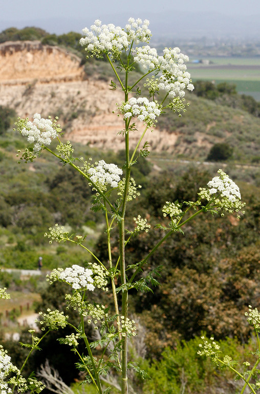 . White Yarrow wildflowers in bloom in the Fort Ord National Monument on the Creekside Terrace Trail on Wednesday, May 2, 2018.  (Vern Fisher - Monterey Herald)
