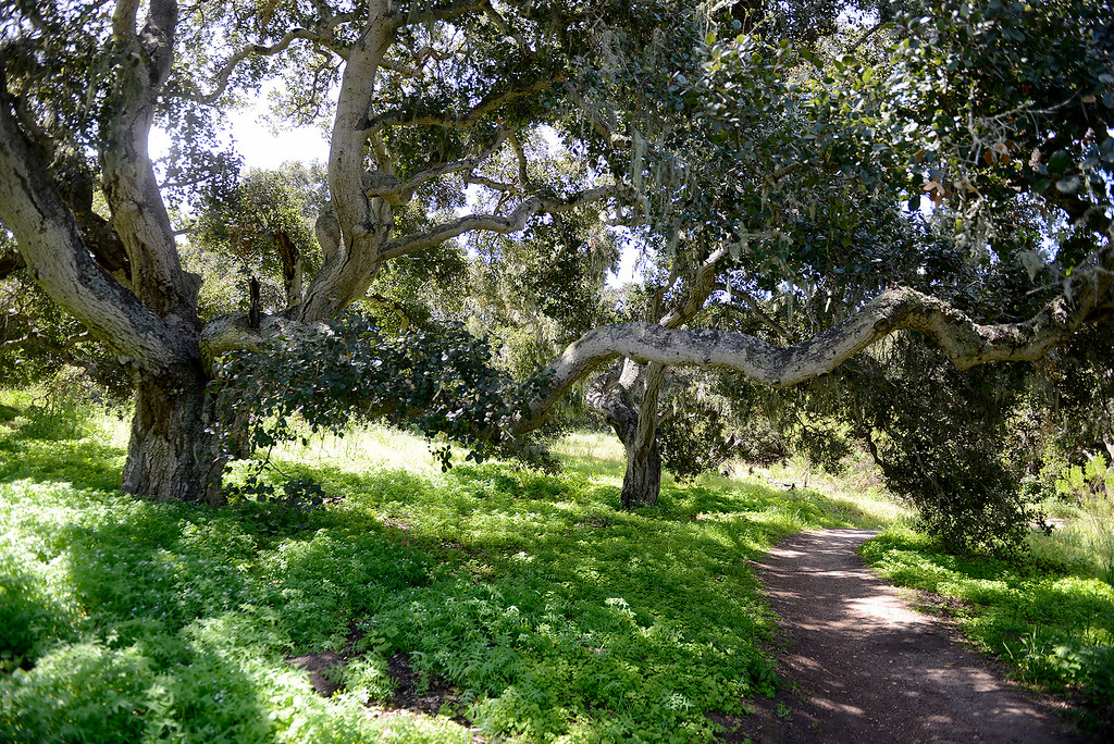 . Wildflowers in bloom in the Fort Ord National Monument on the Creekside Terrace Trail on Wednesday, May 2, 2018.  (Vern Fisher - Monterey Herald)