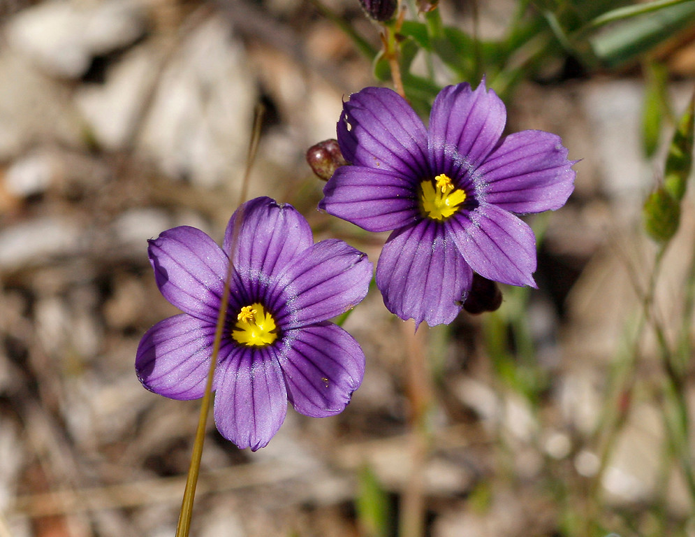 . Blue-Eyed Grass wildflowers in bloom in the Laguna Seca Recreational Area on Wednesday, May 2, 2018.  (Vern Fisher - Monterey Herald)