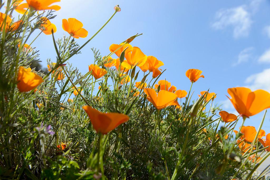 . California poppies wildflowers in bloom on Wednesday, May 2, 2018.  (Vern Fisher - Monterey Herald)