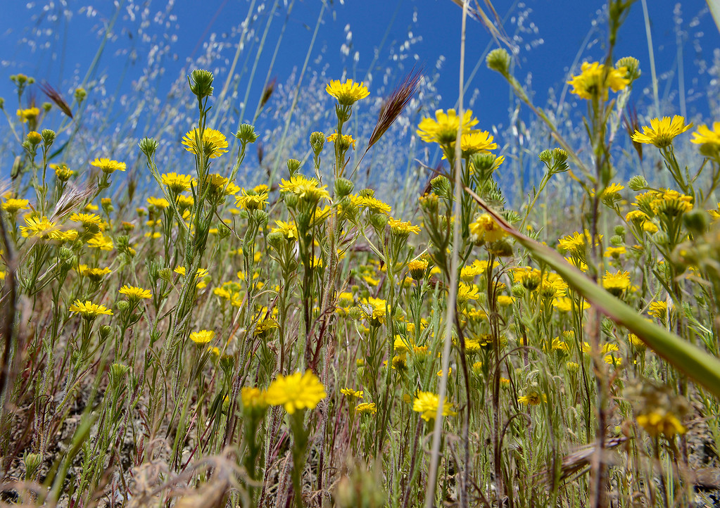 . Buttercup wildflowers in bloom in the Laguna Seca Recreational Area on Wednesday, May 2, 2018.  (Vern Fisher - Monterey Herald)