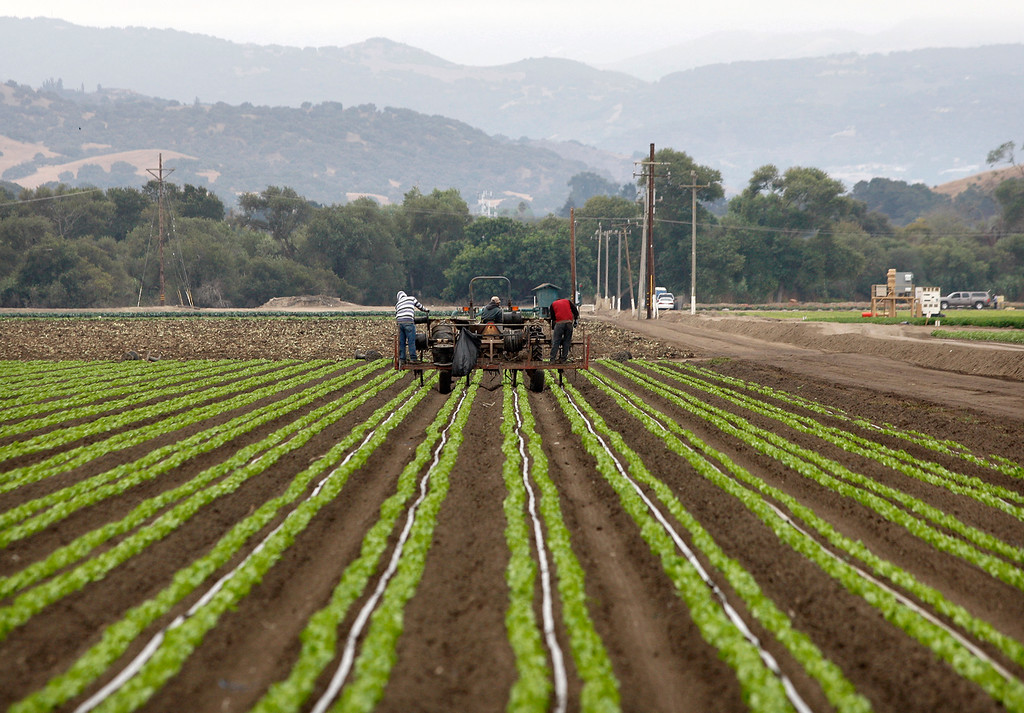 . Farmworkers tend to a field in Salinas on Monday, August 27, 2018.  (Vern Fisher - Monterey Herald)