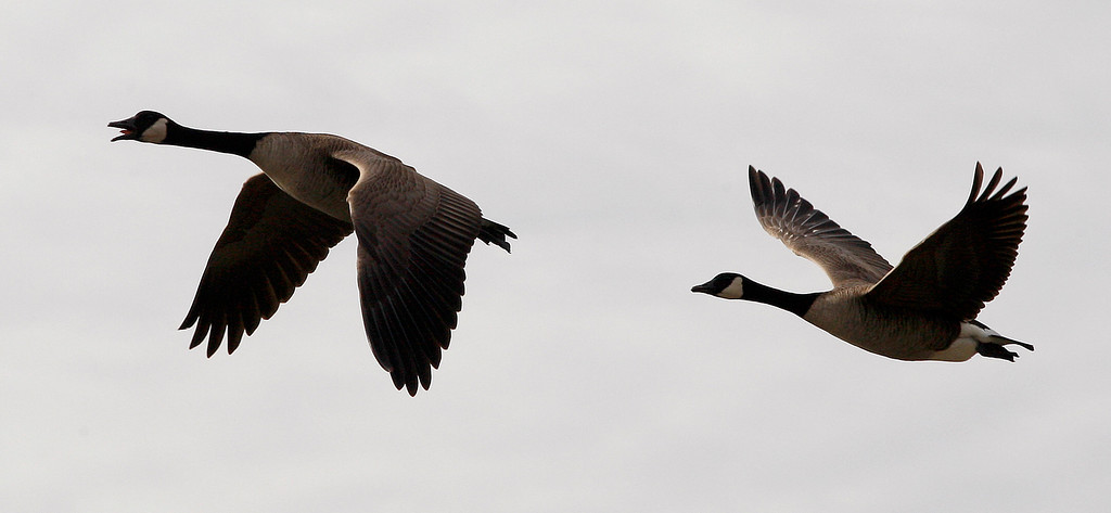 . Canada geese take flight against a cloudy sky in Pacific Grove on Tuesday, Jan. 2, 2018.  (Vern Fisher - Monterey Herald)