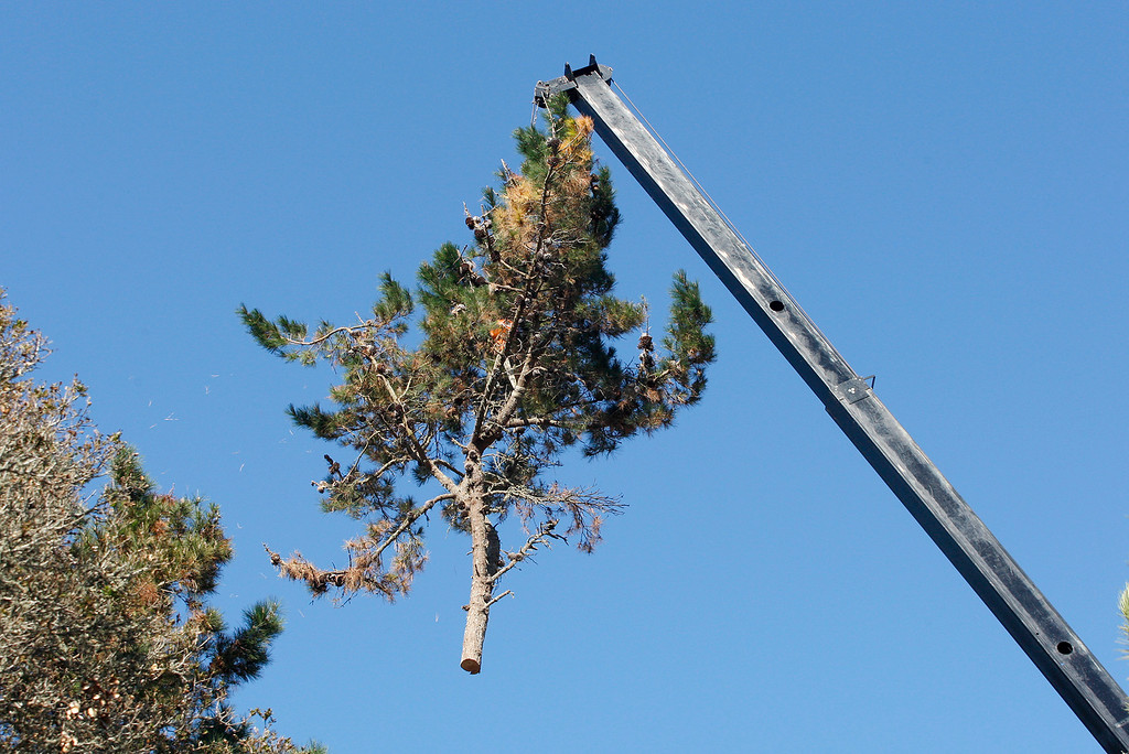 . Topes Tree Service removing a dying pine tree in Monterey on Thursday, Dec. 14, 2017.  (Vern Fisher - Monterey Herald)