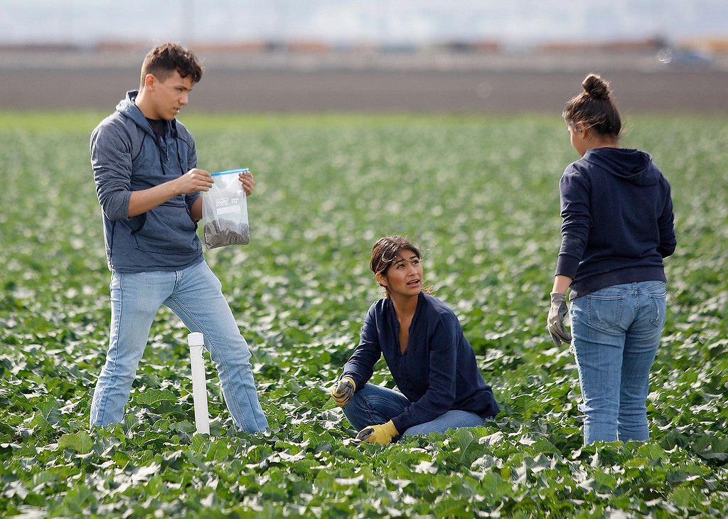 . Gonzales High School students Pablo Mendoza, 16,  Elizabeth Aireola, 15, and Nayeli Garcia, 16, work in a broccoli field at Pisoni Farms in Gonzales as part of their school project that was placing sensors to monitor water levels in the soil on Friday, Feb. 2, 2018.  (Vern Fisher - Monterey Herald)