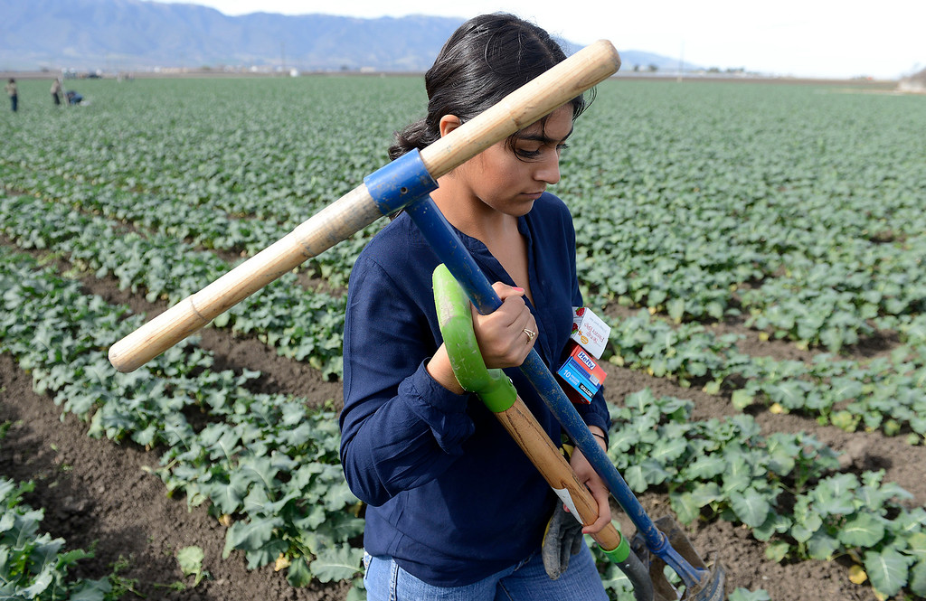 . Gonzales High School sophomore Elizabeth Aireola, 15, works in a broccoli field at Pisoni Farms in Gonzales as part of their school project that was placing sensors to monitor water levels in the soil on Friday, Feb. 2, 2018.  (Vern Fisher - Monterey Herald)