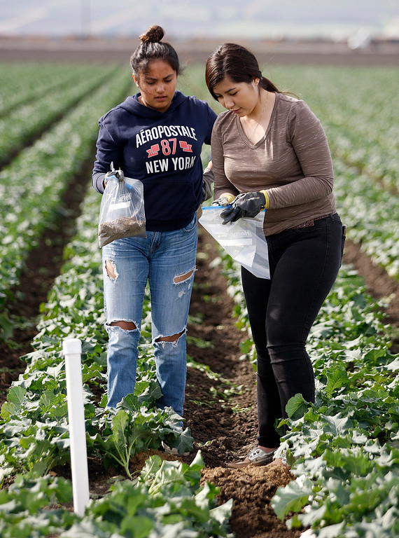 . Gonzales High School students Nayeli Garcia, 16, and Leslie Zepeda, 15, work in a broccoli field at Pisoni Farms in Gonzales as part of their school project that was placing sensors to monitor water levels in the soil on Friday, Feb. 2, 2018.  (Vern Fisher - Monterey Herald)
