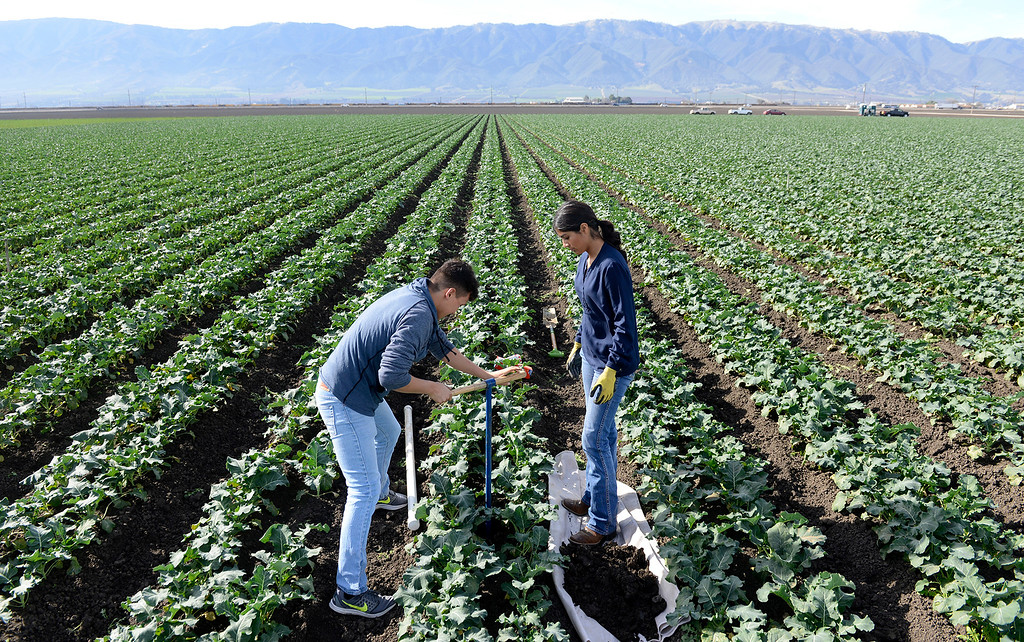 . Gonzales High School students Pablo Mendoza, 16,  Elizabeth Aireola, 15, work in a broccoli field at Pisoni Farms in Gonzales as part of their school project that was placing sensors to monitor water levels in the soil on Friday, Feb. 2, 2018.  (Vern Fisher - Monterey Herald)
