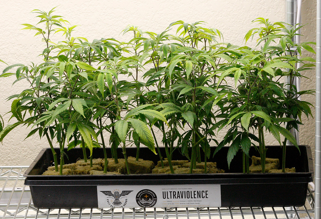 . Marijuana plants grow in the Clone and Cannabis Genetics Room at Emerald Skyway in Salinas on Wednesday, Feb. 28, 2018.  It\'s the first marijuana dispensary to open in Salinas and has been open since mid January.  (Vern Fisher - Monterey Herald)