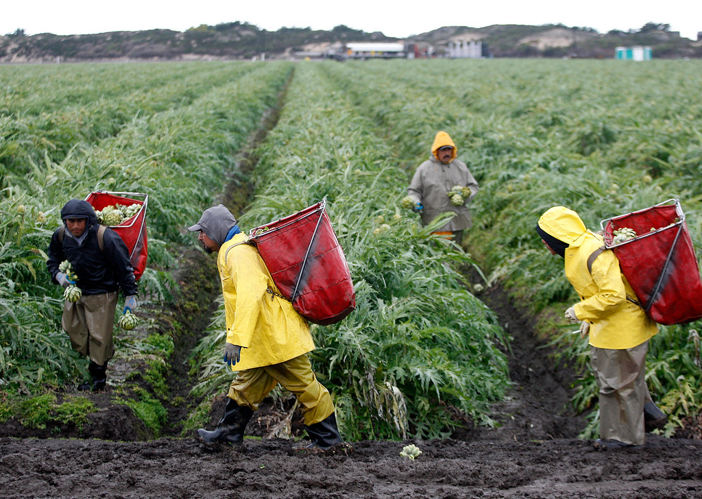. Harvesting artichokes in the rain and mud in Castroville on Thursday, March 1, 2018.  (Vern Fisher - Monterey Herald)