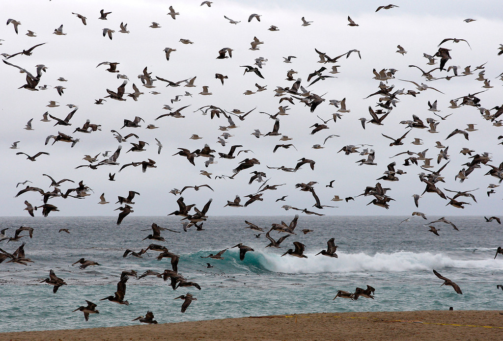 . Gulls and pelicans take flight over Carmel River State Beach on Tuesday, Jan. 9, 2018.  (Vern Fisher - Monterey Herald)