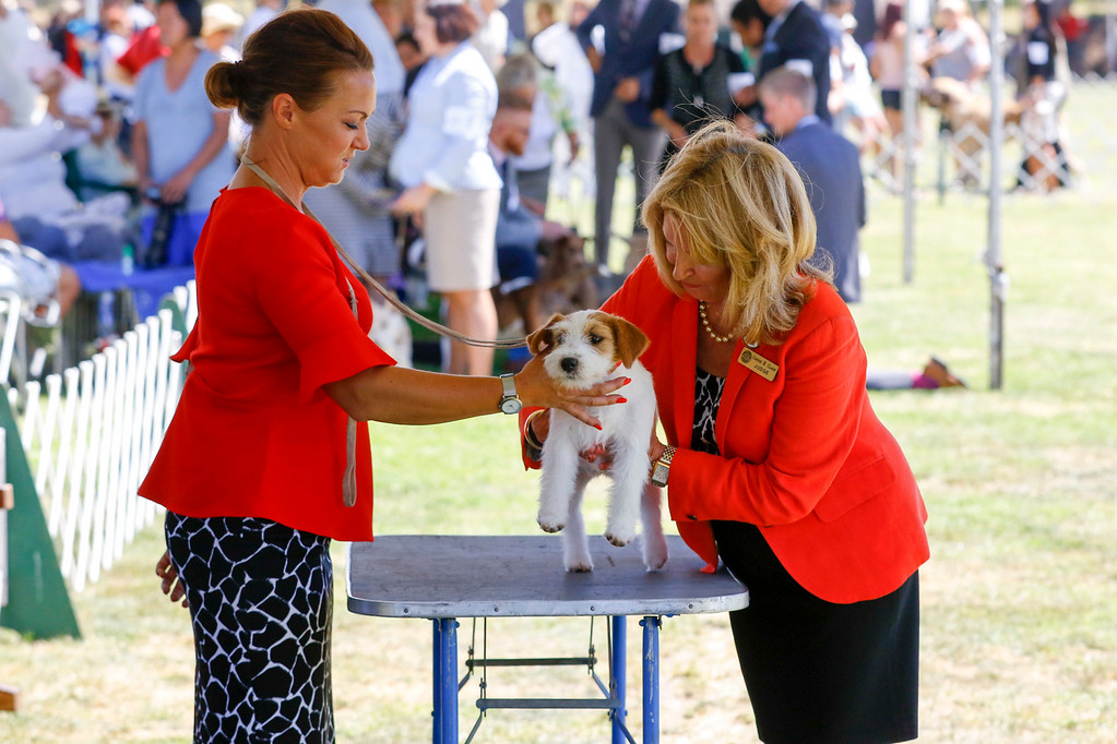 . Connie H. Clark, right, judges the Best in Show Terrier Group during of the 2017 Del Monte Kennel Club All Breed Shows and Obedience and Rally Trials at Carmel Middle School on Sunday, July 16, 2017 in Carmel, Calif. (Vernon McKnight/Herald Correspondent)