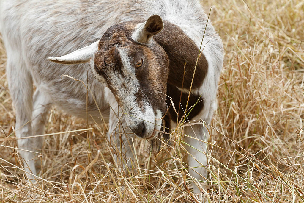 . A goat used for fire prevention grazes in a meadow on Thursday, July 13, 2017 in Pebble Beach, Calif. (Vernon McKnight/Herald Correspondent)