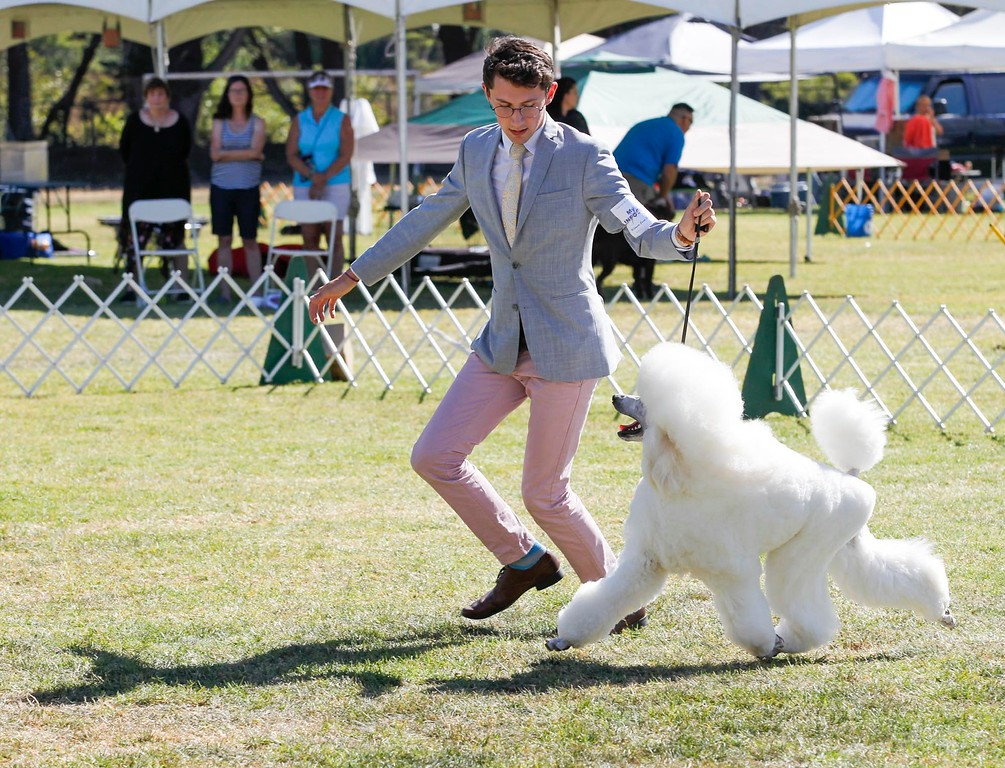 . Sinclair\'s Sparkle in my Heart, a standard poodle, owned by Claire and Conrad of Saratoga, is handled by Colton O\'Shea competes in Best of Show Class of the 2017 Del Monte Kennel Club All Breed Shows and Obedience and Rally Trials at Carmel Middle School on Sunday, July 16, 2017 in Carmel, Calif. (Vernon McKnight/Herald Correspondent)