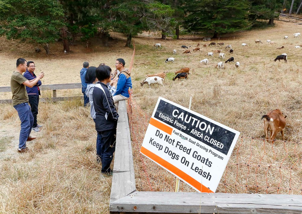 . A tourist sits on a fence for a photo as a herd of goats used for fire prevention graze in a meadow on Thursday, July 13, 2017 in Pebble Beach, Calif. (Vernon McKnight/Herald Correspondent)