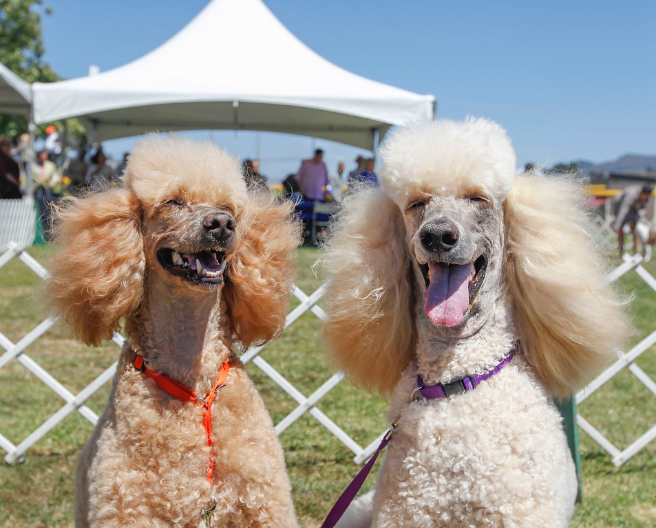 . Ellen Wallace of Carmel Valley standard poodles, Ruby Tuesday, left, and Regal Riley are pictured during the 2017 Del Monte Kennel Club All Breed Shows and Obedience and Rally Trials at Carmel Middle School on Sunday, July 16, 2017 in Carmel, Calif. (Vernon McKnight/Herald Correspondent)