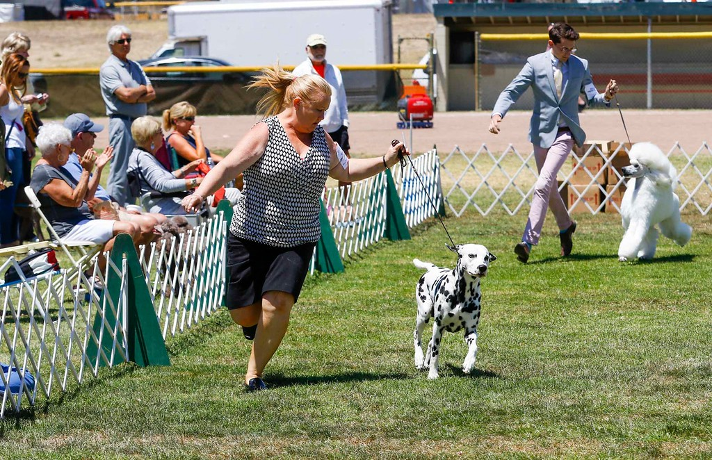 . A dalmatians is handled as it competes in the best of non-sporting class of the 2017 Del Monte Kennel Club All Breed Shows and Obedience and Rally Trials at Carmel Middle School on Sunday, July 16, 2017 in Carmel, Calif. (Vernon McKnight/Herald Correspondent)