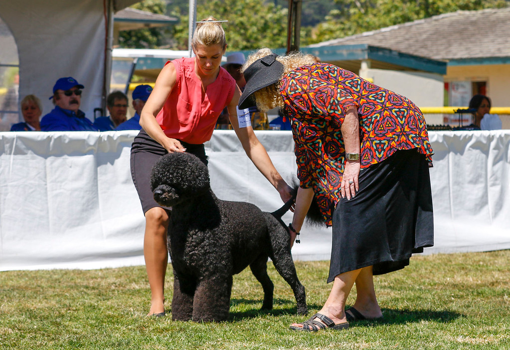 . Kimberly Meredith-Cavanna judges Manly, a Portuguese water dog and 2016 Best in Show winner, owned by Remy Smith-Lewis and handled by Janice Hayes before winning this year\'s Best in Show Working Group of the 2017 Del Monte Kennel Club All Breed Shows and Obedience and Rally Trials at Carmel Middle School on Sunday, July 16, 2017 in Carmel, Calif. (Vernon McKnight/Herald Correspondent)