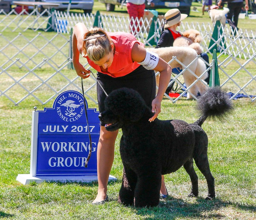 . Manly, a Portuguese water dog and 2016 Best in Show winner, owned by Remy Smith-Lewis and handled by Janice Hayes wins this year\'s Best in Show Working Group of the 2017 Del Monte Kennel Club All Breed Shows and Obedience and Rally Trials at Carmel Middle School on Sunday, July 16, 2017 in Carmel, Calif. (Vernon McKnight/Herald Correspondent)