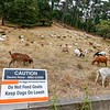Goats Used for Fire Prevention