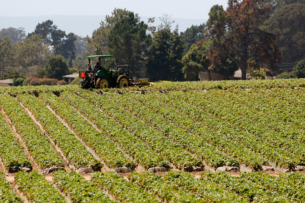 . A tractor works a strawberry field near Moss Landing on Tuesday, July 18, 2017.  (Vern Fisher - Monterey Herald)