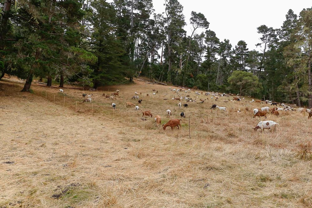 . A grazed meadow is contrasted with a section where a herd of goats used for fire prevention currently graze on Thursday, July 13, 2017 in Pebble Beach, Calif. (Vernon McKnight/Herald Correspondent)