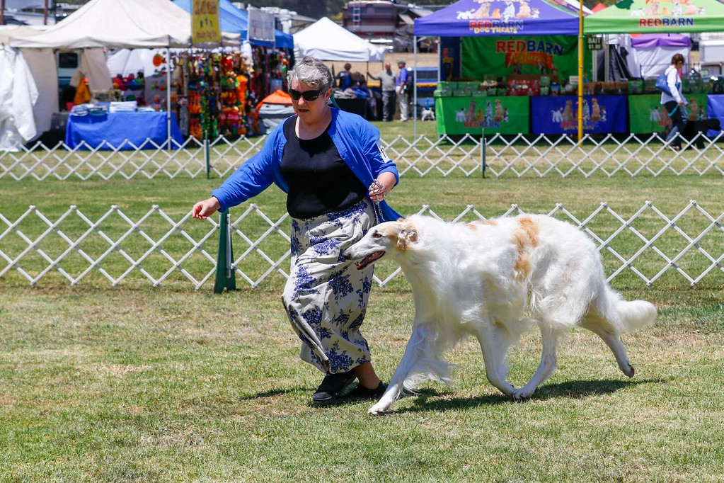 . A borzois is handled as it competes in the 2017 Del Monte Kennel Club All Breed Shows and Obedience and Rally Trials at Carmel Middle School on Sunday, July 16, 2017 in Carmel, Calif. (Vernon McKnight/Herald Correspondent)