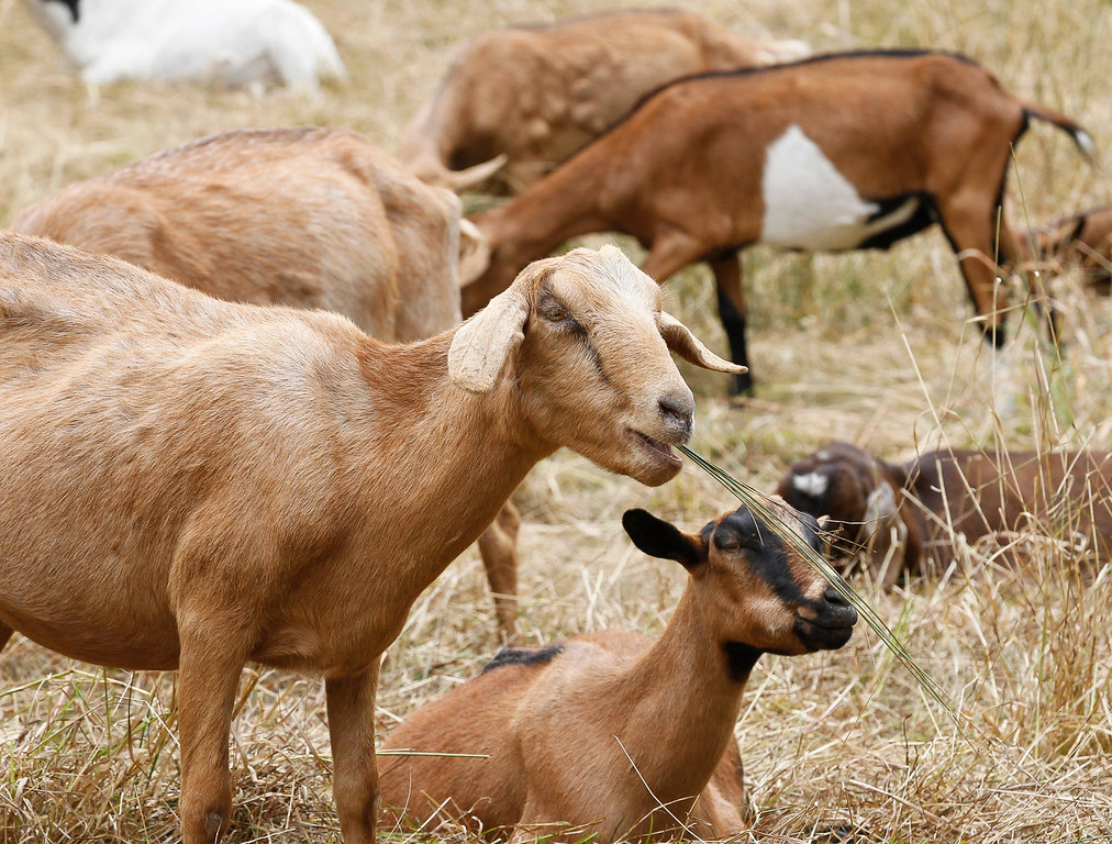 . A herd of goats used for fire prevention graze in a meadow on 17-mile Drive on Thursday, July 13, 2017 in Pebble Beach, Calif. (Vernon McKnight/Herald Correspondent)