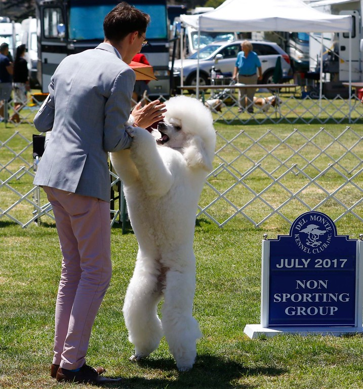 . Sinclair\'s Sparkle in my Heart, a standard poodle, owned by Claire and Conrad of Saratoga, is handled by Colton O\'Shea as it goes on to win the best of non-sporting class of the 2017 Del Monte Kennel Club All Breed Shows and Obedience and Rally Trials at Carmel Middle School on Sunday, July 16, 2017 in Carmel, Calif. (Vernon McKnight/Herald Correspondent)