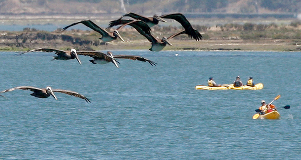 . Pelicans fly over kayakers on the Elkhorn Slough in Moss Landing on Tuesday, July 18, 2017.  (Vern Fisher - Monterey Herald)