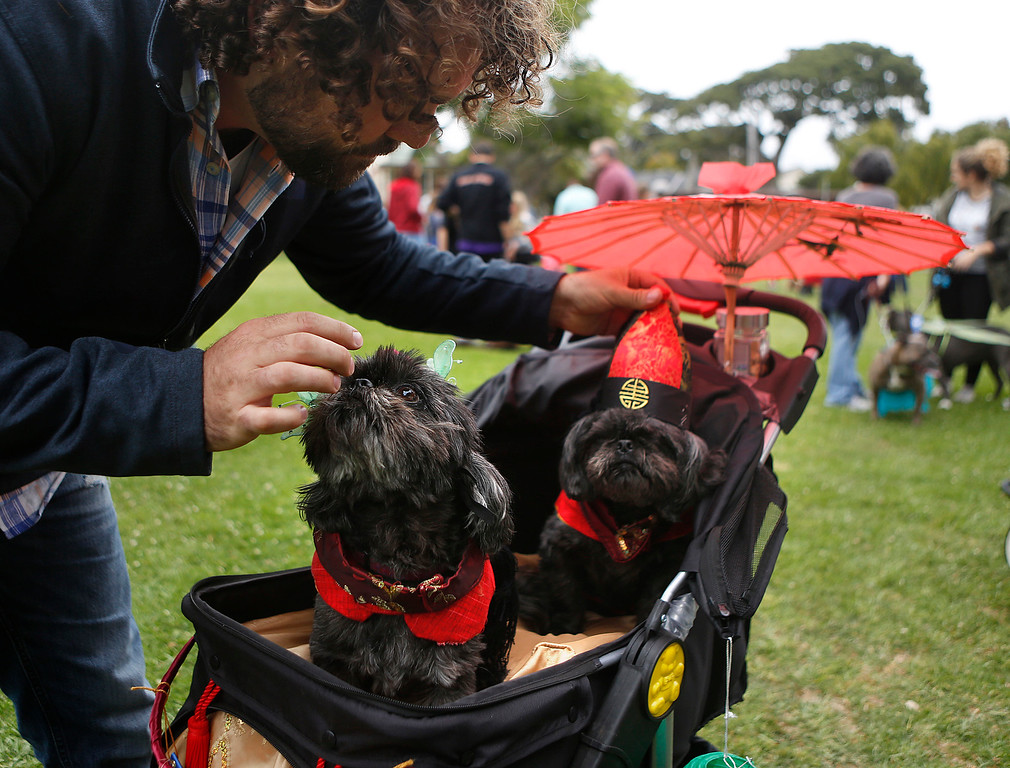 . Carl Magnuson makes some last minute adjustments to costumes for Shih Tzu dogs Quigley, left, dressed as Koong-Se or Queen Topaz and and Bixby dressed as Scholar Chang. the main characters in the Feast of Lanterns during the Pet Parade in Downtown Pacific Grove, Calif. on Friday July 28, 2017. (David Royal/Herald Correspondent)