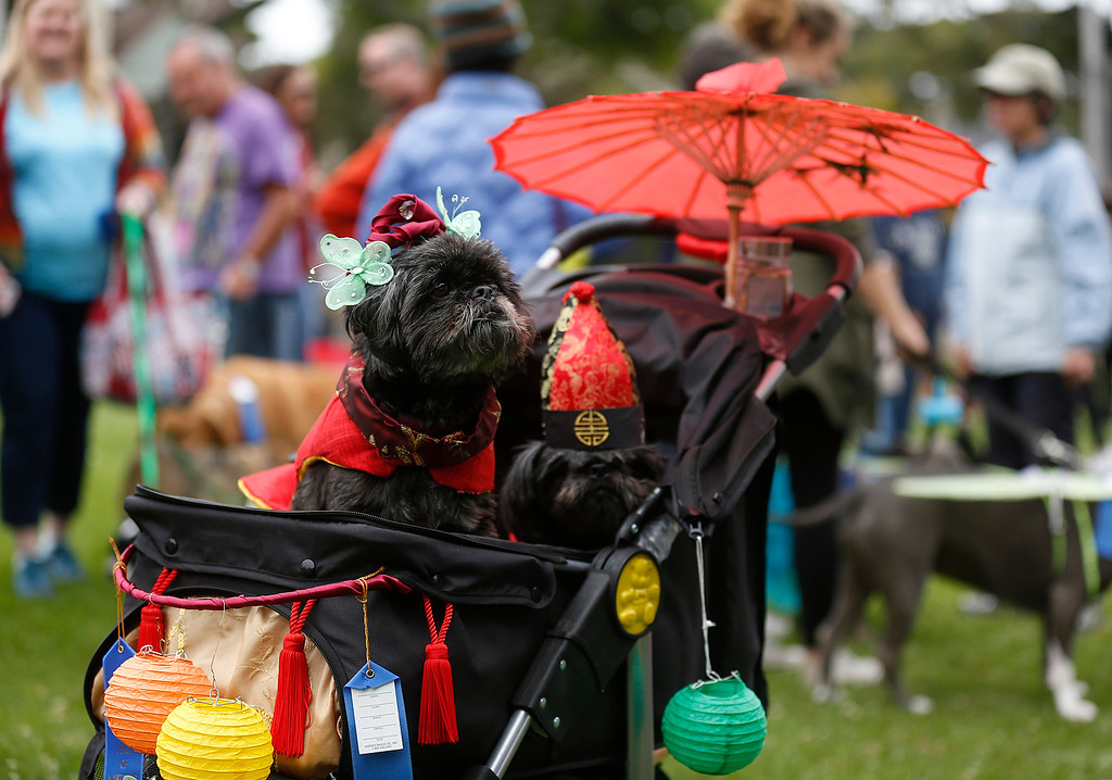 . Shih Tzu dogs Quigley, left, dressed as Koong-Se or Queen Topaz and and Bixby dressed as Scholar Chang the main characters in the Feast of Lanterns during the Pet Parade in Downtown Pacific Grove, Calif. on Friday July 28, 2017. (David Royal/Herald Correspondent)