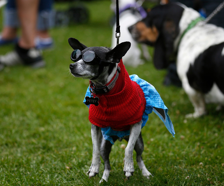 . Petey the Chihuahua is dressed as Superman during the Pet Parade in Downtown Pacific Grove, Calif. on Friday July 28, 2017. (David Royal/Herald Correspondent)