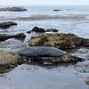 Dead Whale in Pebble Beach