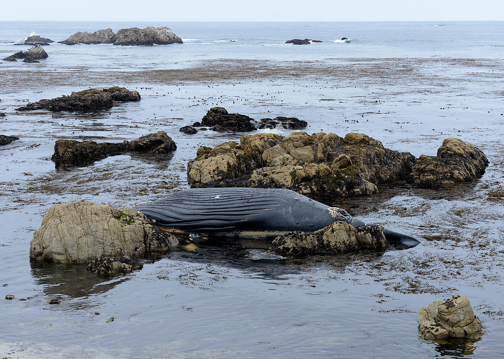 . A dead whale washed up on the rocks north of Bird Rock in Pebble Beach on Monday, July 31, 2017.  (Vern Fisher - Monterey Herald)