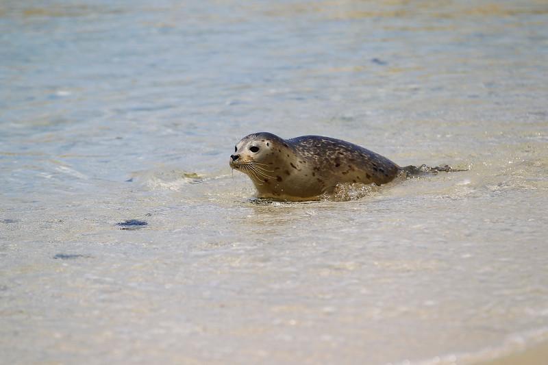 three rescued and rehabilitated harbor seals pups