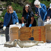 three rescued and rehabilitated harbor seals pups