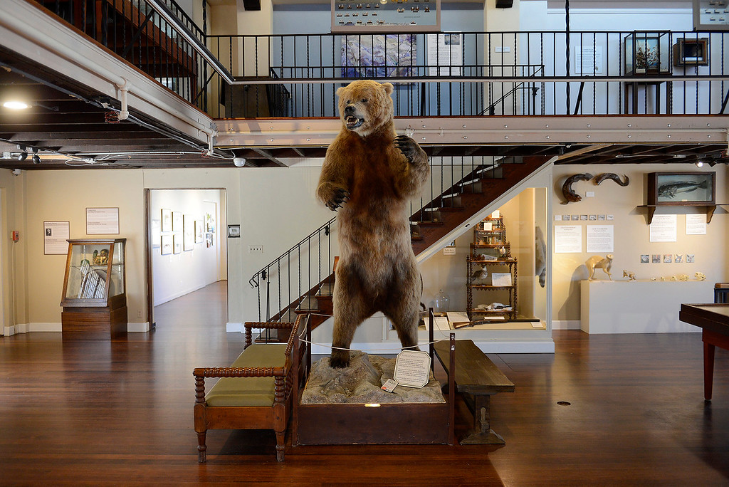 . A grizzly bear exhibit at the Pacific Grove Museum of Natural History on Monday, June 4, 2018.  (Vern Fisher - Monterey Herald)