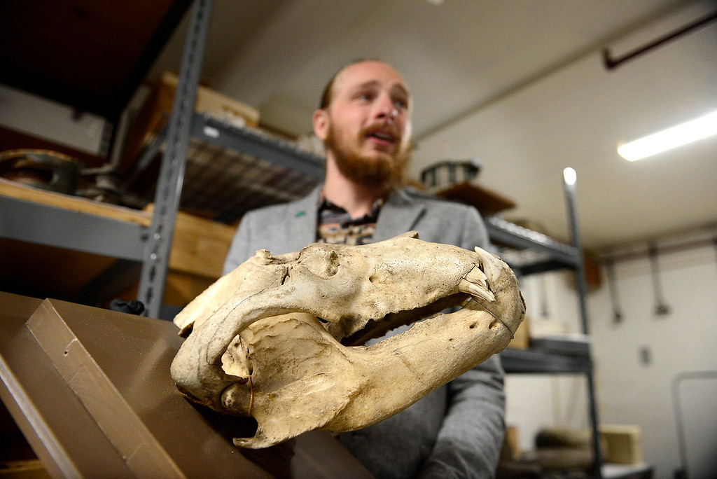 . Nate King, collections registrar at the Pacific Grove Museum of Natural History holds a grizzly bear skull on Monday, June 4, 2018.  (Vern Fisher - Monterey Herald)