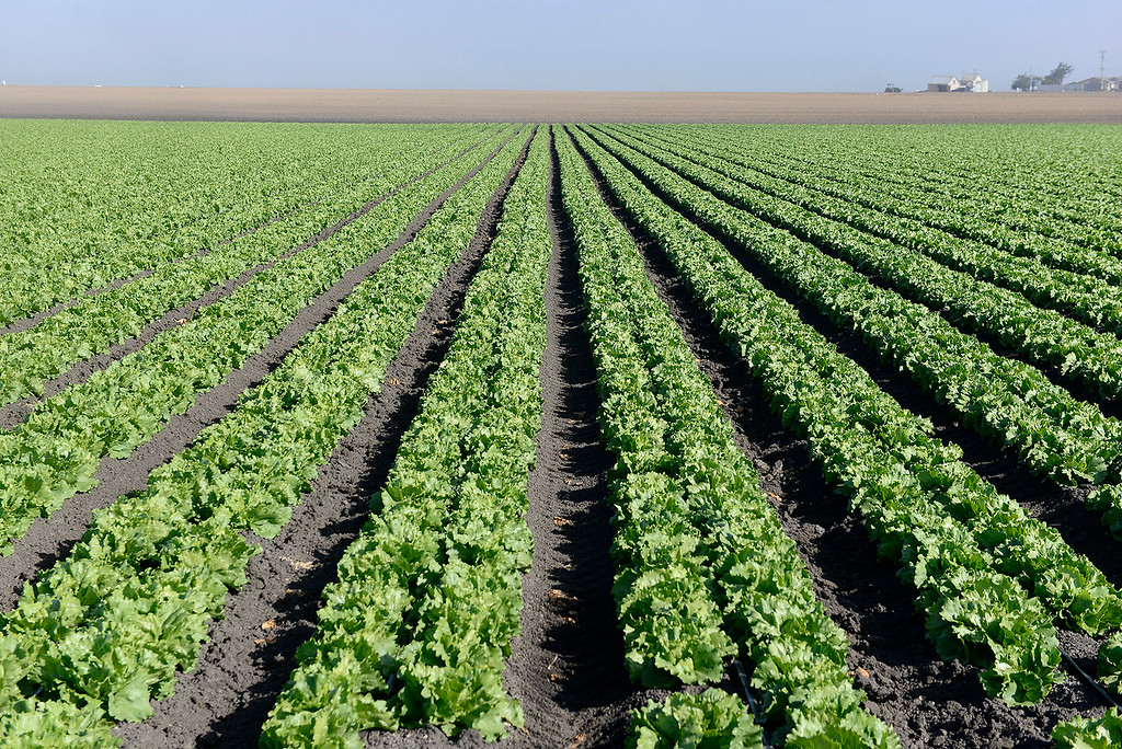 . A lettuce field off Molera Road in north Monterey County on Tuesday, June 5, 2018.  (Vern Fisher - Monterey Herald)
