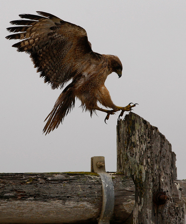 . A hawk attempts a landing in the Moss Landing Harbor on Monday, July 2, 2018.  (Vern Fisher - Monterey Herald)