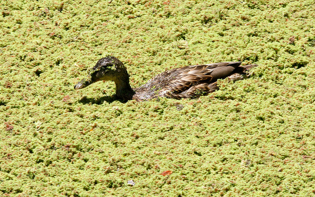 . A duck swims through heavy moss at the Frog Pond in Del Rey Oaks on Friday, June 29, 2018.  (Vern Fisher - Monterey Herald)