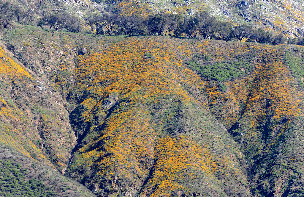 . Huge swaths of poppies bloom on the side of Mount Manuel in Big Sur, Calif. on Monday March 13, 2017.  (David Royal - Monterey Herald)