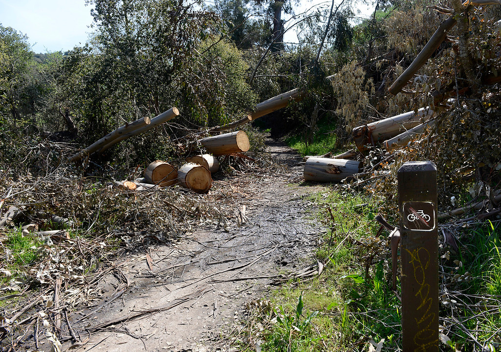 . A fresh downed tree crosses a trail where other trees fell earlier and were cut at Toro Park in rural Salinas on Thursday March 16, 2017. Bicyclists are restricted from the trail but the sign has been vandalized. (David Royal - Monterey Herald)
