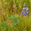 Monterey County Wildflowers