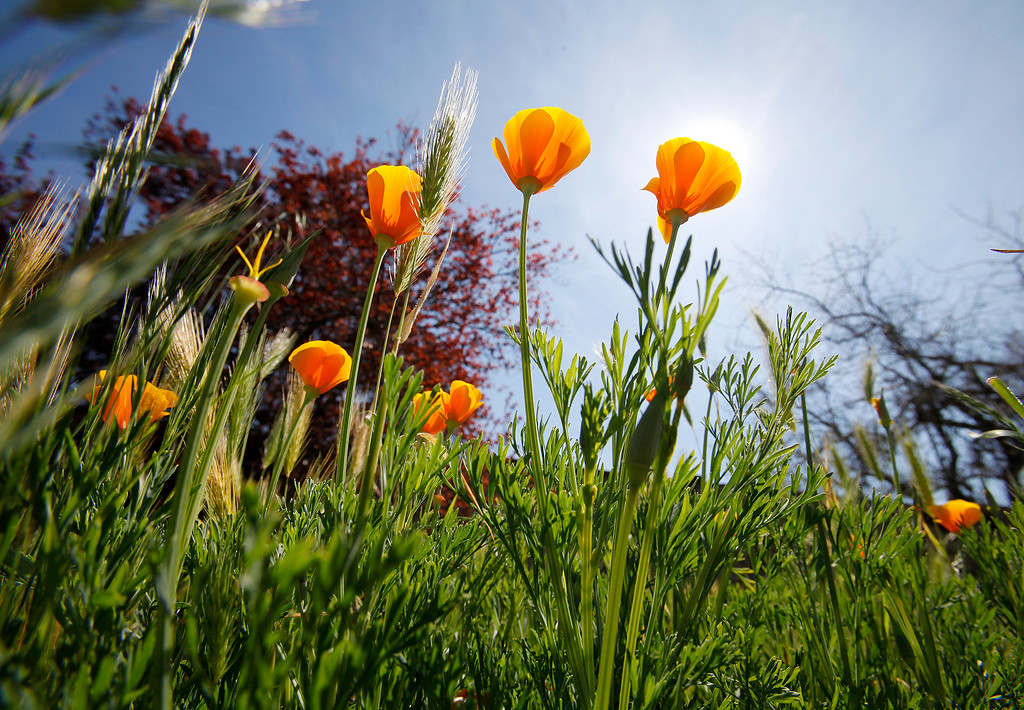 . California Poppy wildflowers blooming in Toro Park on Wednesday, March 15, 2017.  (Vern Fisher - Monterey Herald)