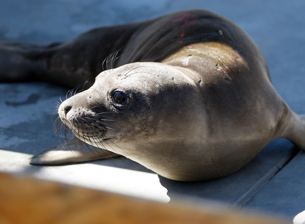 . Two elephant seal pups were delivered from San Luis Obispo County to the Marine Mammal Center in Moss Landing for care after being found malnourished on Thursday, March 8, 2018.  (Vern Fisher - Monterey Herald)